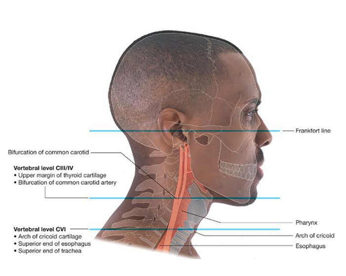 آناتومی گردن